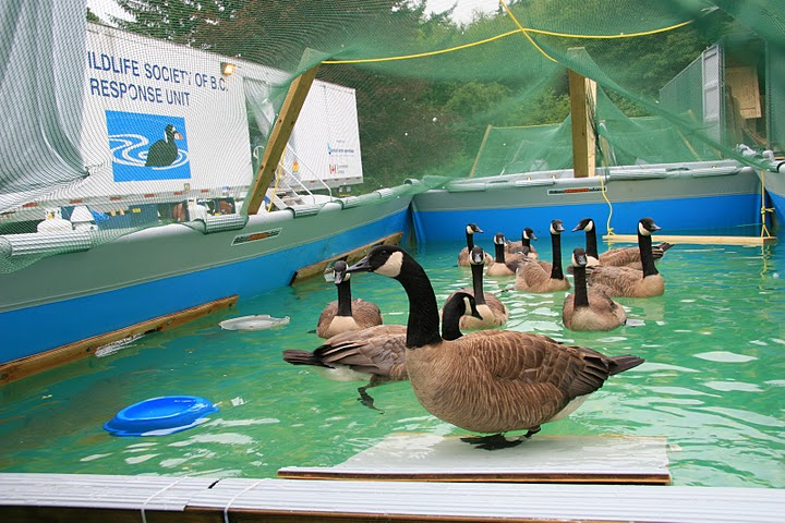 Canada Geese in a pre-release conditioning pool during a professional oil spill response in BC. Photo Paul Steeves.